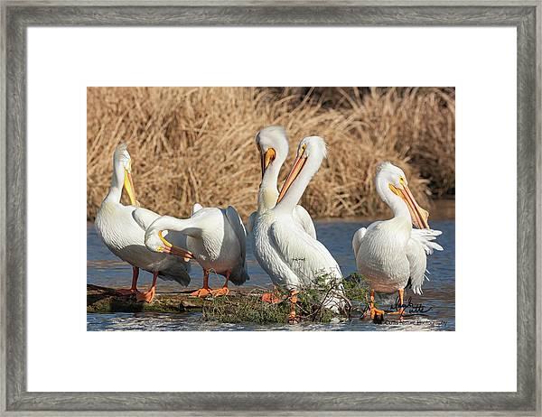 The Pelican Gang Framed Print