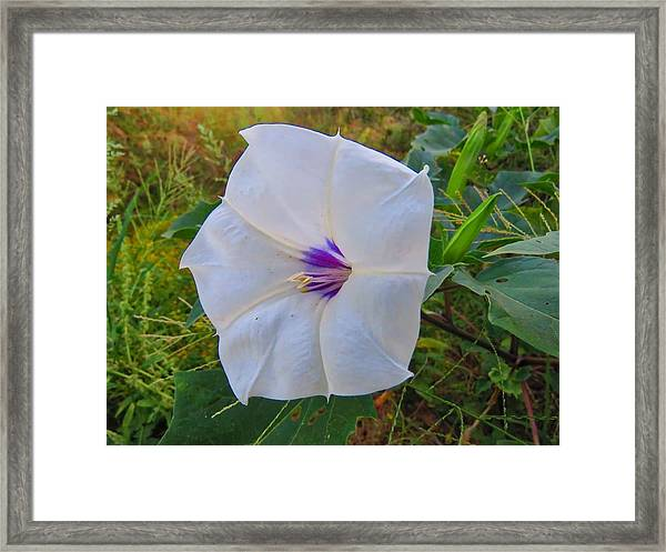 The Perfect Flower - Sacred Datura Framed Print