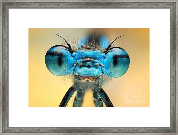 The Picture Shows A Beautiful  Damesfly Framed Print