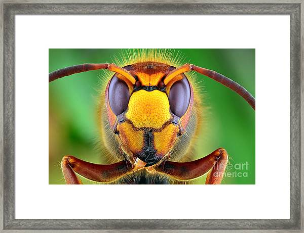 The Picture Shows Hornet Vespa Crabro Framed Print