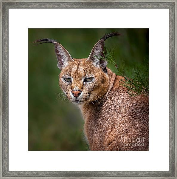 The Portrait Of Caracal Snarling Framed Print