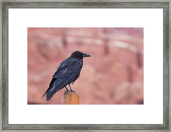 The Rainy Raven Framed Print