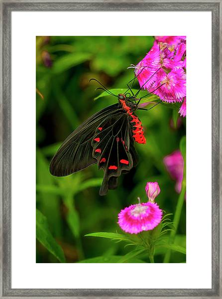 The Semperi Swallowtail Butterfly Framed Print