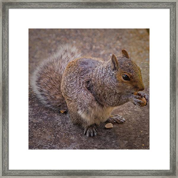 The Squirrel - Cornwall Framed Print