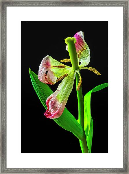The Wilted Tulip Framed Print