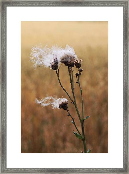 Thistle Down Framed Print