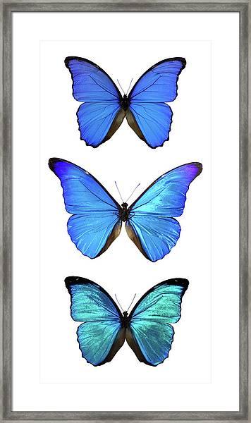 Three Morpho Butterflies Framed Print by Imv