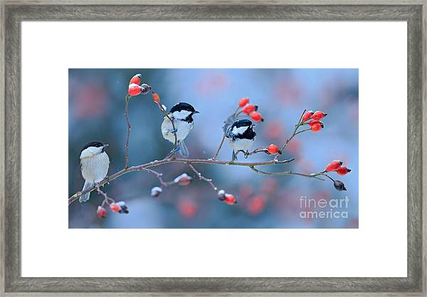 Three Songbirds, Great Tit And Coal Framed Print