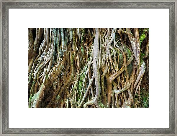 Tree Roots, Onomea Bay, Hamakua Coast Framed Print by Russ Bishop
