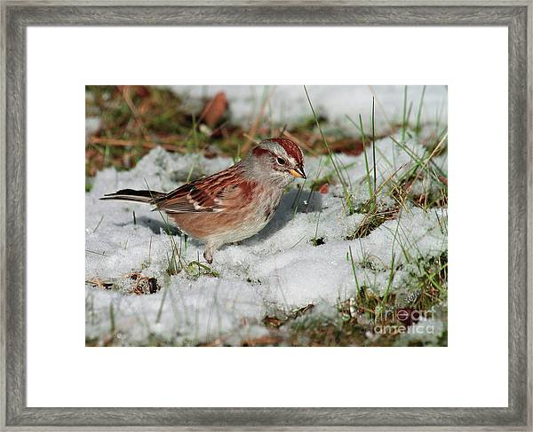 Tree Sparrow In Snow Framed Print
