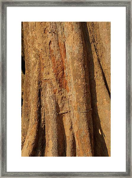 Tree Trunk And Bark Of Chambak Framed Print