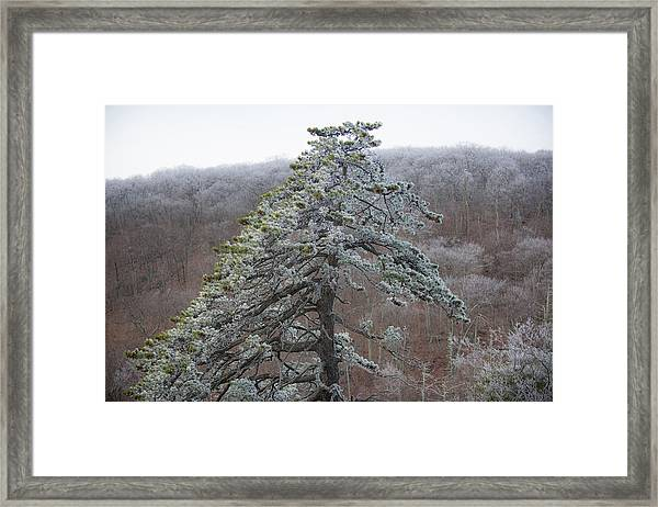 Tree With Hoarfrost Framed Print