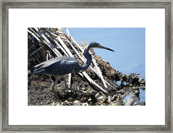 Tri-colored Heron 40312 Framed Print