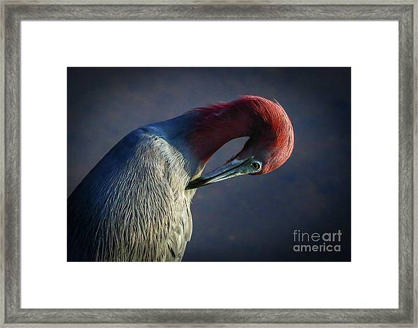 Framed Print featuring the photograph Tricolor Preening by Tom Claud
