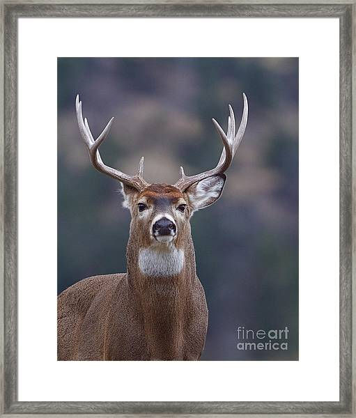 Trophy Whitetail Buck Deer, Isolated Framed Print