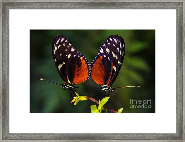 Tropical Butterflies Dido Longwing On Framed Print