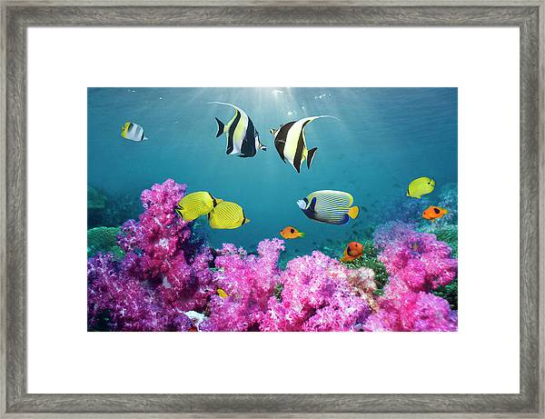 Tropical Reef Fish Over Soft Corals Framed Print