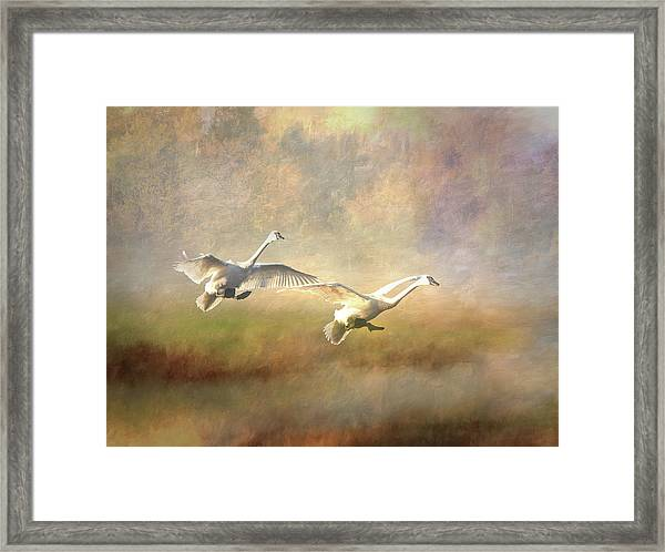 Framed Print featuring the photograph Trumpeter Swan Landing - Painterly by Patti Deters