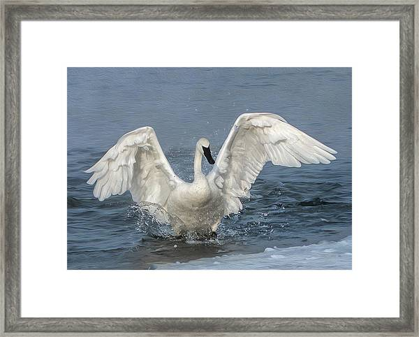 Framed Print featuring the photograph Trumpeter Swan Splash by Patti Deters