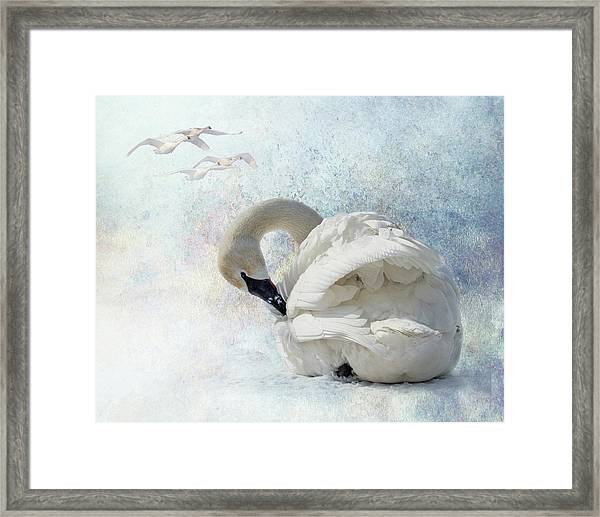 Framed Print featuring the photograph Trumpeter Textures #2 - Swan Preening by Patti Deters
