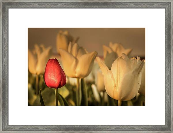 Framed Print featuring the photograph Tulip Field by Anjo ten Kate