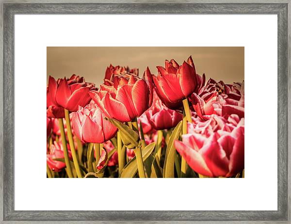 Framed Print featuring the photograph Tulip Fields by Anjo Ten Kate