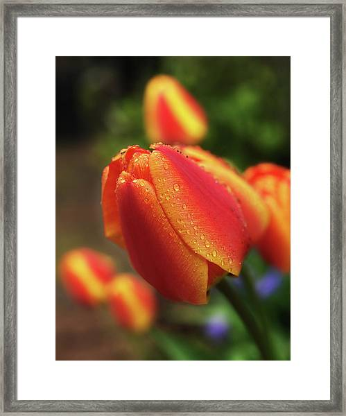 Tulips And Raindrops Framed Print