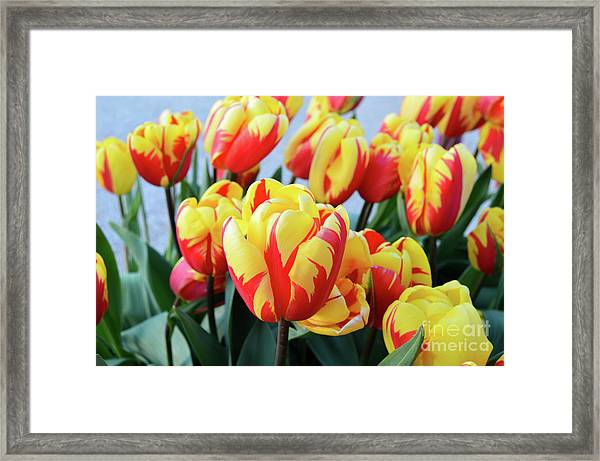 Tulips And Tiger Stripes Framed Print