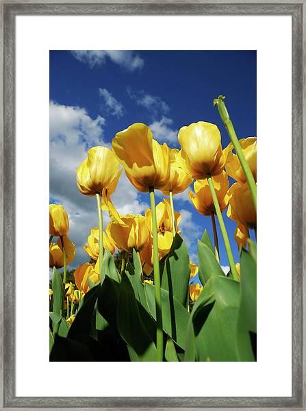 Tulips At Tesselaar Tulip Festival Framed Print