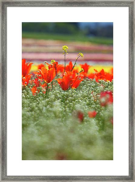 Tulips In A Field At Wooden Shoe Tulip Framed Print