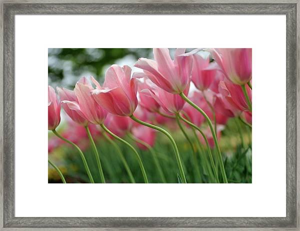 Tulips Like Dancing Framed Print