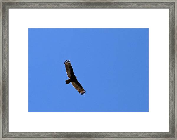 Turkey Vulture Soaring Framed Print