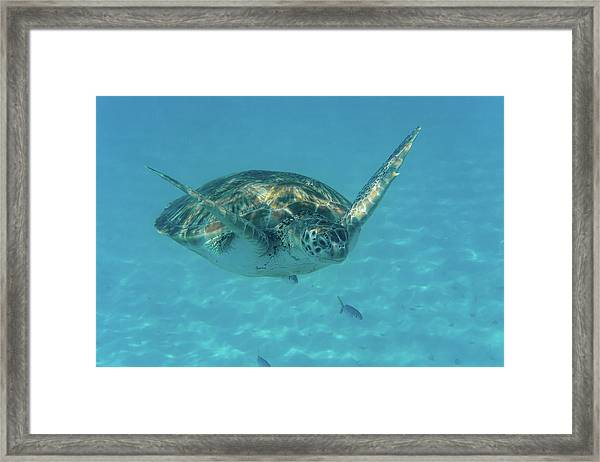 Turtle Approaching Framed Print