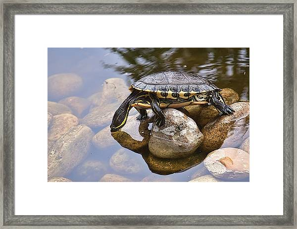 Turtle Drinking Water Framed Print