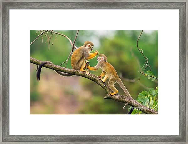 Two Common Squirrel Monkeys Saimiri Framed Print