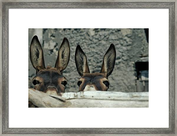Two Donkeys Peering Over Fence, Close-up Framed Print