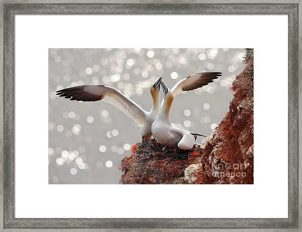 Two Gannets. Bird Landing On The Nest Framed Print