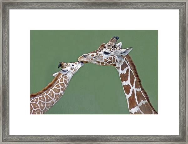 Two Giraffes Framed Print