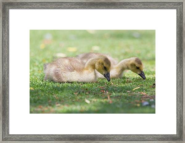 Two Goslings In Grass Framed Print by Susangaryphotography
