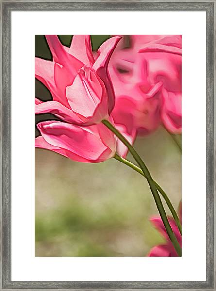 Two Intertwined Pink Tulip Blooms Framed Print