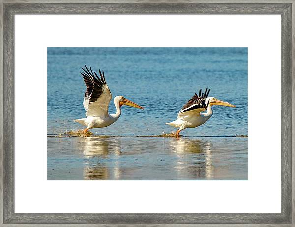 Two Pelicans Taking Off Framed Print