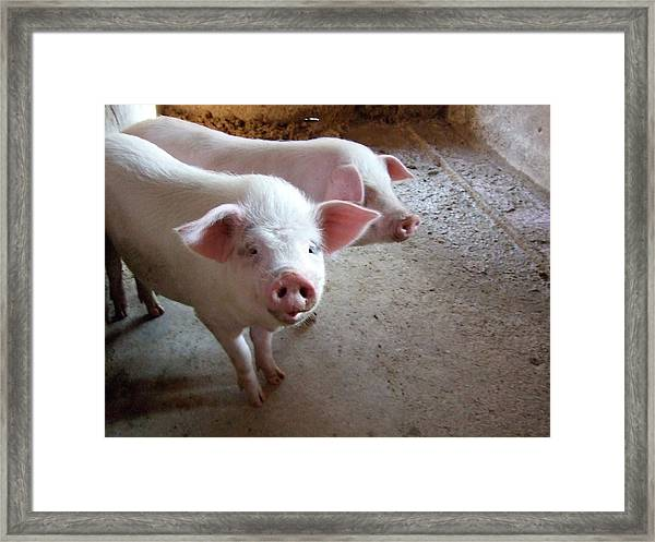 Two Pigs Framed Print by Shinichi.imanaka