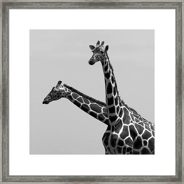 Two Reticulated Giraffes Framed Print
