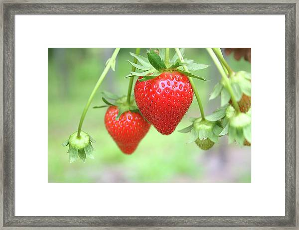 Two Ripe Red Strawberries On The Vine Framed Print