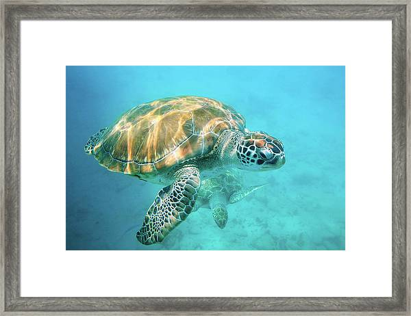 Two Sea Turtles Framed Print by Matteo Colombo