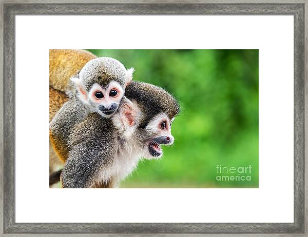 Two Squirrel Monkeys, A Mother And Her Framed Print