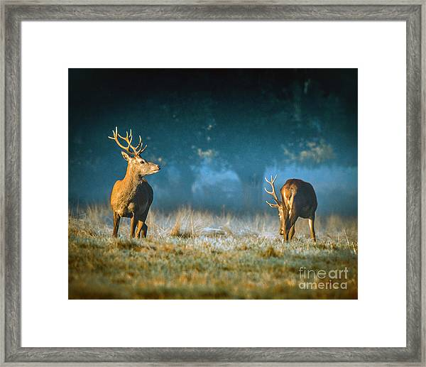 Two Stags Framed Print