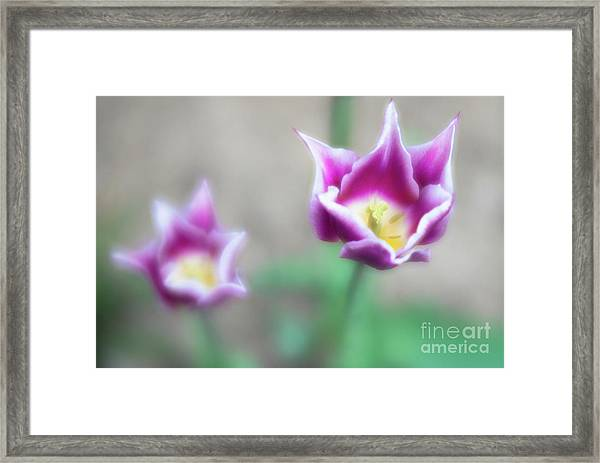 Two-tone Tulips Framed Print