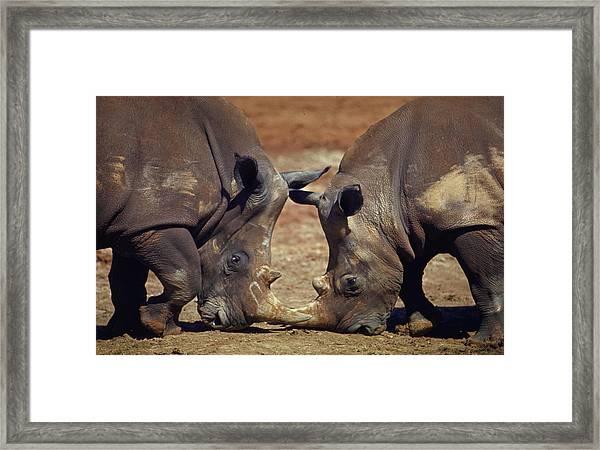 Two White Rhinocheros Fr. Zululand Framed Print by Nina Leen