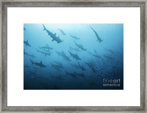 Underwater View Of Scalloped Hammerhead Framed Print